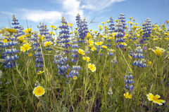 紫色羽扇豆特写镜头和春天花五颜六色的花束开花在壳小河路的路线58的,在Bakersfiel西部 免版税库存图片
