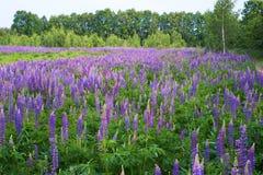 紫色羽扇豆的领域 免版税图库摄影