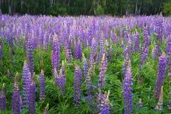 紫色羽扇豆的领域 库存图片