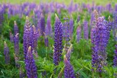 紫色羽扇豆的领域 免版税库存照片