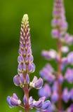 紫色羽扇豆 免版税图库摄影