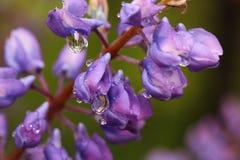 紫色羽扇豆 库存图片