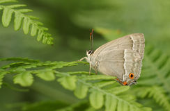 紫色翅上有细纹的蝶蝴蝶Favonius栎属在蕨栖息 免版税库存照片