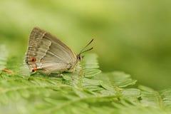 紫色翅上有细纹的蝶蝴蝶Favonius栎属的一张侧视图在与它的被关闭的翼的蕨栖息 免版税库存照片