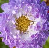 紫色翠菊特写镜头 免版税图库摄影