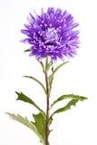 紫色翠菊花 免版税库存图片
