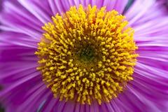 紫色翠菊 图库摄影