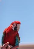 绿色翼金刚鹦鹉鹦鹉鸟Ara chloropterus 库存图片