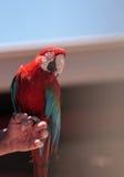 绿色翼金刚鹦鹉鹦鹉鸟Ara chloropterus 图库摄影