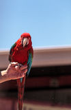 绿色翼金刚鹦鹉鹦鹉鸟Ara chloropterus 免版税库存照片