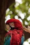 绿色翼金刚鹦鹉Ara chloropterus 免版税图库摄影