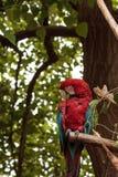 绿色翼金刚鹦鹉Ara chloropterus 免版税库存图片