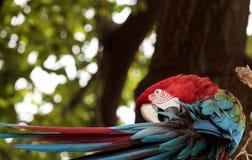 绿色翼金刚鹦鹉Ara chloropterus 库存照片