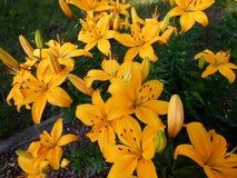 黄色老虎Lillies 库存图片