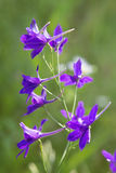 紫色老鼠豌豆花 库存照片
