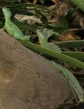 绿色耶稣基督蜥蜴 免版税库存照片