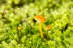 黄色肚脐在一个微森林里 免版税库存图片