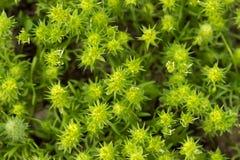 绿色背景的干草原多刺的植物 库存图片
