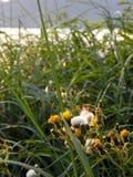 黄色胶杂草花和海滩草 免版税库存照片