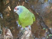 紫色胸口鹦鹉 库存图片