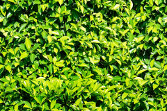 绿色自然背景的叶子无缝的墙壁 免版税图库摄影