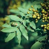绿色臭虫Palomena prasina坐在绿色ba的一片绿色叶子 免版税库存图片