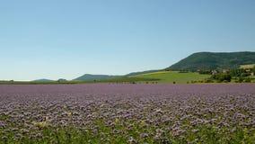 紫色艾菊领域在乡下在热的夏日 在开花的青绿的紫色花 影视素材