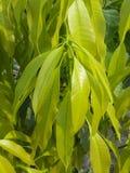 绿色芒果叶子 库存照片