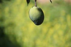 绿色芒果果子 库存照片