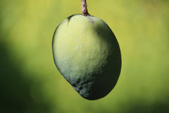 绿色芒果果子 图库摄影