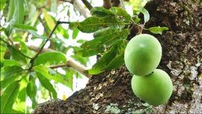 绿色芒果果子 影视素材