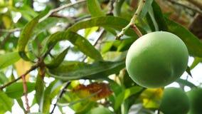 绿色芒果果子 股票录像