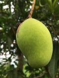 绿色芒果树 库存图片