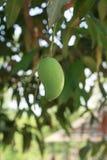 绿色芒果 免版税库存照片