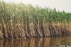 绿色芦苇在水中,自然背景 免版税库存图片