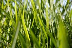 绿色芦苇特写镜头  库存图片