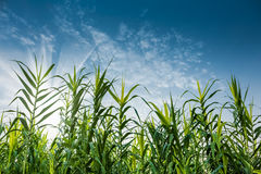 绿色芦苇草和蓝天 库存照片