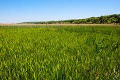 绿色芦苇领域 免版税库存照片