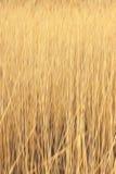 黄色芦苇   库存图片