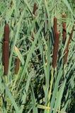 绿色芦苇 库存图片
