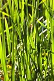 绿色芦苇 免版税库存照片