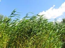 绿色芦苇 免版税库存图片
