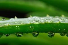 绿色芦荟维拉叶子用水下降宏指令 免版税库存图片
