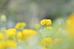黄色花万寿菊绽放 图库摄影