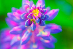 紫色花凶猛宏指令,关闭 开花的凶猛花在草甸 明亮和饱和的软的颜色,被弄脏的背景 库存照片