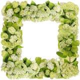 绿色花卉八仙花属框架 库存照片