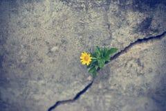 黄色花卉生长在高明的难看的东西墙壁上 库存照片