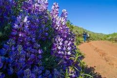 紫色花卉生长沿一串普遍的足迹的左边在有被弄脏的远足者的马林县在背景中 免版税库存图片