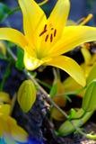 黄色花卉生长从树枝 库存图片