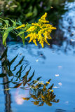 黄色花反射在池塘用水下的Koi鲤鱼 库存图片